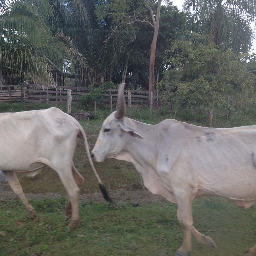 道端の牛。
