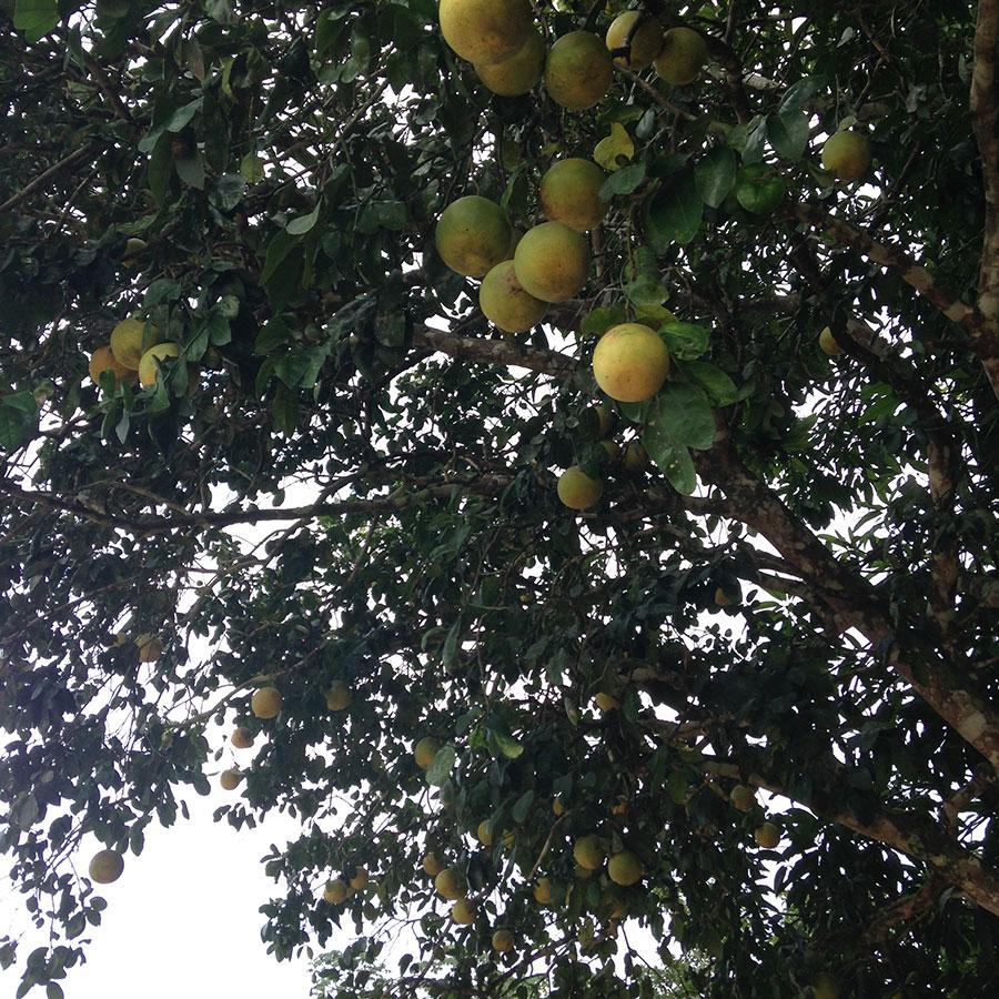 柑橘系のフルーツのなるルレナバケ