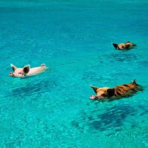 飛べない豚はただの豚。泳げる豚はバハマにいる!