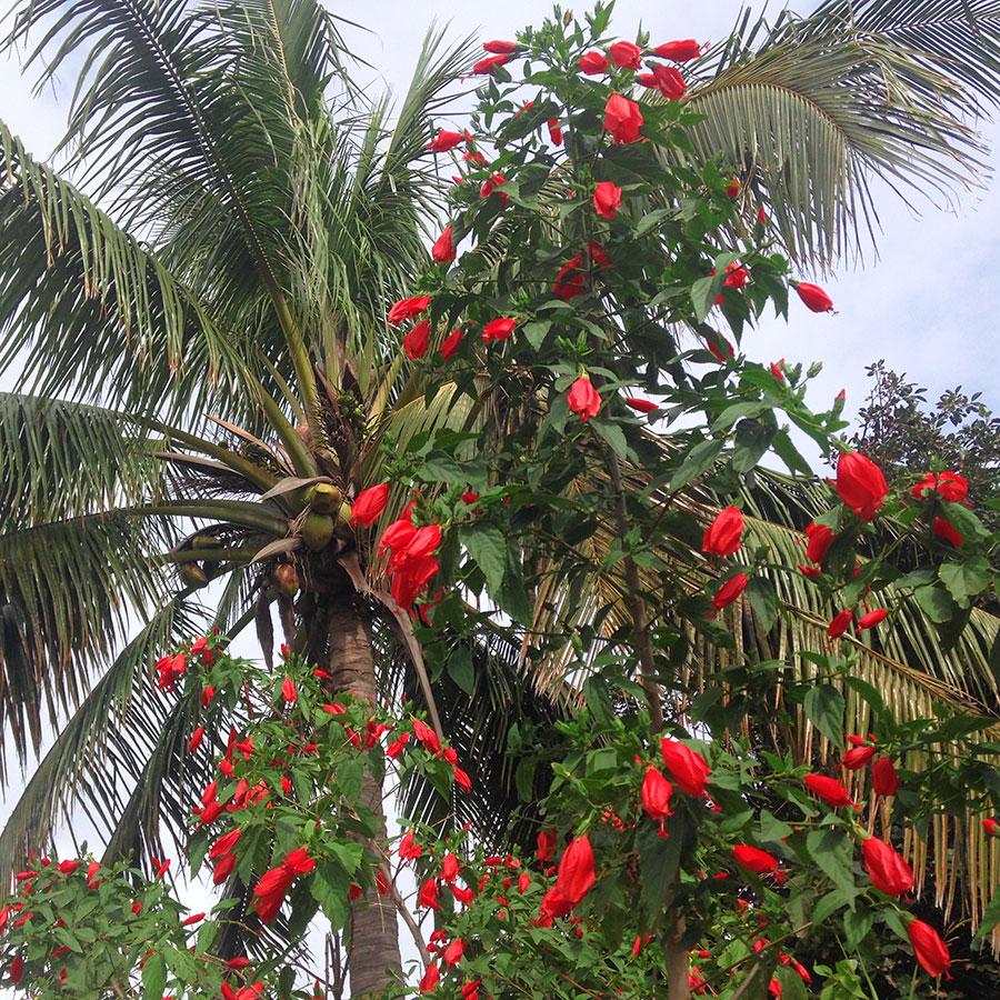 イースター島の真っ赤な花。