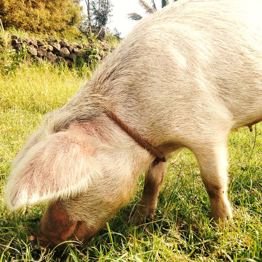 イースター島の豚。